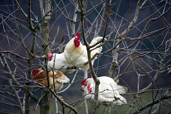 Szemlélődő tyúkok egy téli álmát alvó cseresznyefán.